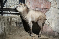 覗き見をする「ムム」 - 動物園放浪記