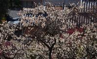 岡本梅林公園の梅とメジロ - たんぶーらんの戯言