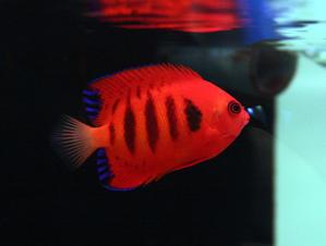 今週入荷の魚たち。 - ビーボックスアクアリウム 海水魚・サンゴ情報