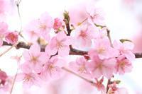 曇り日の河津桜♪ - happy-cafe*vol.2