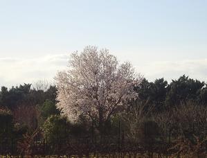 春を告げる花アーモンド - 南仏プロヴァンスの大自然の魅力