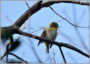 メジロ のんびり一休み - 野鳥の素顔 <野鳥と・・・他、日々の出来事>