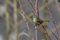 河原の鳥さん ウグイス ベニマシコ カワセミ - 鳥さんと遊ぼう