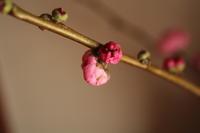 桃の花 - ゆすらうめのジャム