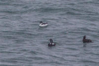 冬の北海道旅行その16 (納沙布岬 ハシブトウミガラス、ウミスズメ、ビロードキンクロ) - 夫婦でバードウォッチング