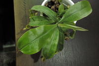 Nepenthes ampullaria - PlantsCade -2nd effort