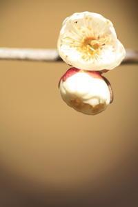 北野天満宮の梅 その5 - 春の風