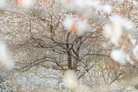 梅の園 - ひつじ雲日記