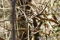 お山で会えた「ミヤマホオジロ」さん♪ - ケンケン&ミントの鳥撮りLifeⅡ