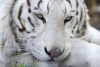 2017.2.26 宇都宮動物園☆ホワイトタイガーのアース王子【White tiger】 - 青空に浮かぶ月を眺めながら