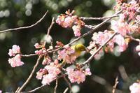 河津桜とメジロ・スズメ・何鳥? - 喜びも悲しみも幾年月