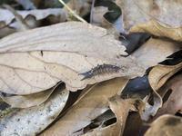 オオムラサキ越冬幼虫探し - オヤヂのご近所仲間日記