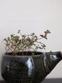伸びすぎたタイム - 暮らしと植物のブログ