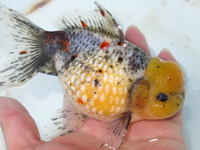 次回の店頭販売日は - フルタニ金魚倶楽部blog