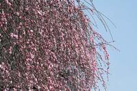 17年 早春の自然(7)…もう咲いてる(5) - ふぉっしるもしてみむとてするなり
