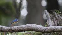 チルチルミチルの幸せを呼ぶ青い鳥です。 - 蓮華寺池の隣5