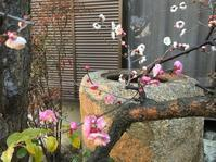白梅にピンクの花が!! - 「今日の一枚」