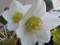 ニゲル開花✿ - リリ子の一坪ガーデン