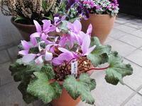 原種シク:ローフシアナム交配とコウム達 - リリ子の一坪ガーデン