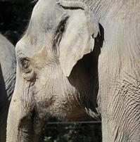 ゾウの耳の穴、大きなパタパタしたヤツの裏側にあるって思い込んでません? - 動物園のど!