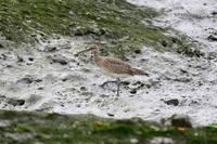 沖縄の鳥 チュウシャクシギ Byヒナ - 仲良し夫婦DE生き物ブログ
