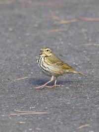 公園のビンズイ - コーヒー党の野鳥と自然 パート2