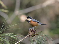 ヤマガラと松ぼっくり - コーヒー党の野鳥と自然 パート2