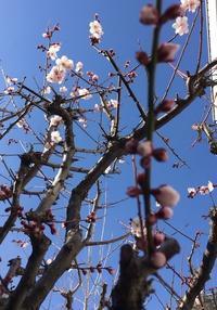 庭に春がやってきた - ほうじ茶が好き
