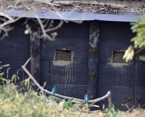 カワセミが巣穴掘りをはじめました! - 水元かわせみの里水辺のふれあいルーム