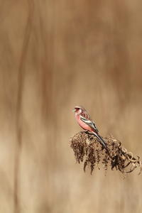 いつものベニマシコ - 野鳥公園