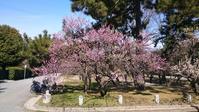 京都御所の梅(2月26日)/  Kyoto flowering information(February 26) - 庭見人(にわみびと)/ The site of beautiful gardens are cheering!