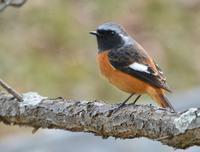 梅林で会った野鳥たち - AR75TS