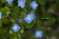 オオイヌノフグリも満開。 - Season of petal