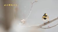ミヤマホオジロ - 北の野鳥たち