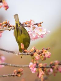 メジロ 河津桜 2月26日 1 - 風まかせ、カメラまかせ