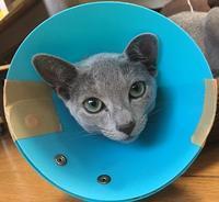 猫の避妊手術 ~エリザベスカラーとフテニャン~ - ササリーヌ伍長のズギューンでドギューンでゴゴゴな日常 2