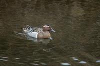 綺麗な水鳥 - 趣味の野鳥撮影