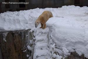 キャンディさん、オモチャで遊ぶ@円山 - 今日ものんびり動物園