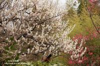 向島百花園の梅は盛り過ぎていました(-_-) - 自然のキャンバス