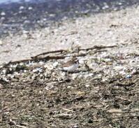 キョウジョシギ - 四季の探鳥