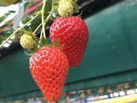「飯森苺農園(千葉県銚子市)」 - 株式会社エイコー 採用担当者のひとりごと