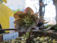 原種クロアチクスDD開花 - リリ子の一坪ガーデン