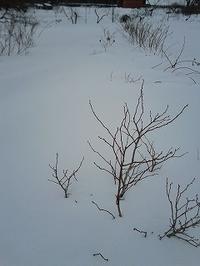 ブルーベリーのちびっこちゃんの除雪 - 空ヤ畑ノコトバカリ