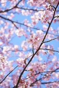 いつかの河津桜 - カメラとさんぽ