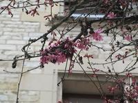 2月の終わりの寒緋桜 - フランス Bons vivants idees d'aujourd'hui