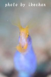 「超えられないイメージ」 ~ハナヒゲウツボ青バージョン~ - 池ちゃんのマリンフォト