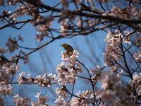 メジロ  桜 - エンジェルの画日記・音楽の散歩道