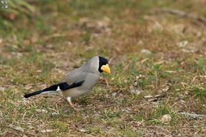 コイカルのペア イカルの群れに - 野鳥公園