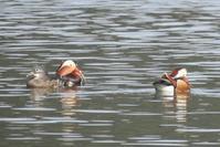 大池のオシドリ - poiyoの野鳥を探しに