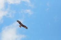 トビは翼先(翼指)が6、ノスリは5 - 上州自然散策2